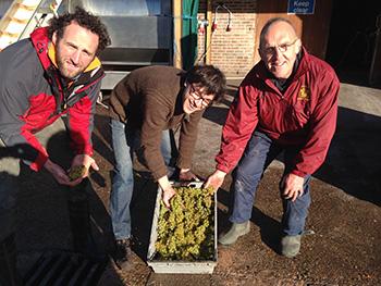 Denbies Sauvignon Grape Picking