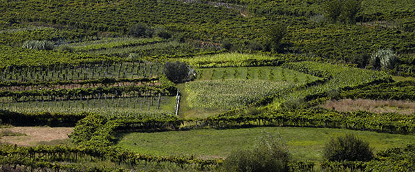 Dao Vineyards