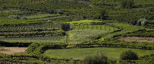Dao Vineyards