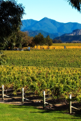 Marlborough Vineyard surrounded with trees and misty mountains in the background