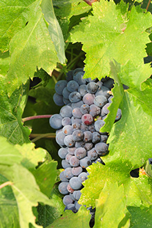 Zinfandel Grape on the vine